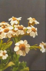 Mountain Daisy (Ixodia Achilleoides)